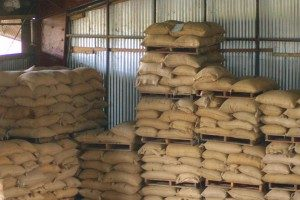 Specialty green coffee in burlap sacks stacked at a warehouse in Goroka, Papua New Guinea