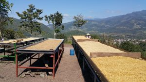 Raised drying beds and washed, sun dried green coffee, sun drying on a hillside overlooking Montecillos, Honduras