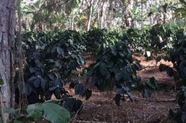 Colombia Shade Grown Coffee Trees