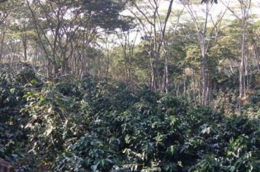 Colombia Supremo Bucaramanga San Gil Coffee Saplings