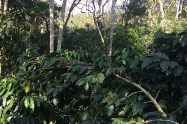 Colombia Supremo Bucaramanga San Gil Coffee Trees
