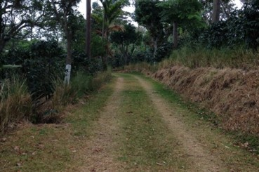 Coffee Farm Access Road Lined with Coffee Trees, Costa Rica