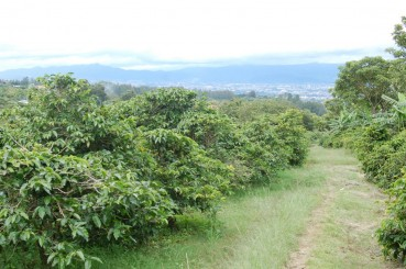Coffee Trees and Walking Trail, El Tigre Farm, Costa Rica
