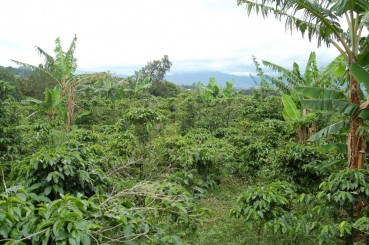 Costa Rica El Tigre Coffee Trees