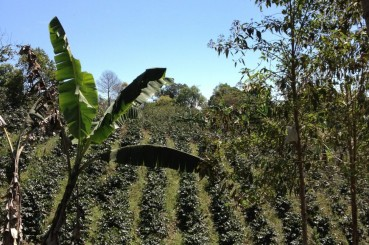 Arabica Coffee Trees, Costa Rica