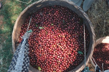 Basket of Coffee Cherries, El Salvador