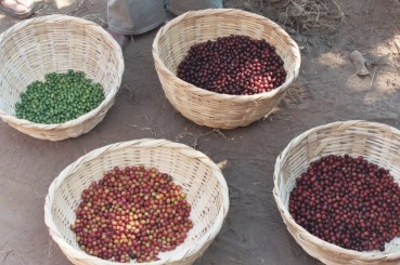 El-Salvador-Coffee-Farm-Basket-Coffee-Cherries-2
