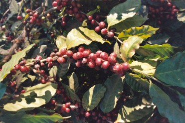 El-Salvador-Coffee-Farm-Coffee-Cherries