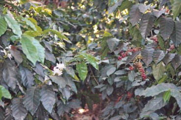 El Salvador Coffee Trees & Blossoms