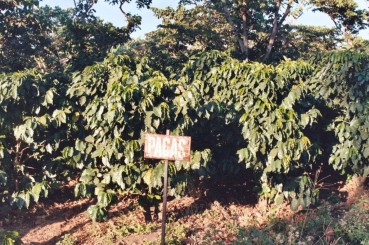 Pacas Coffee Trees in El Salvador