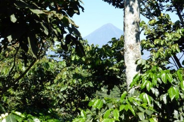 Guatemala-Coffee-Farm-Coffee-Trees