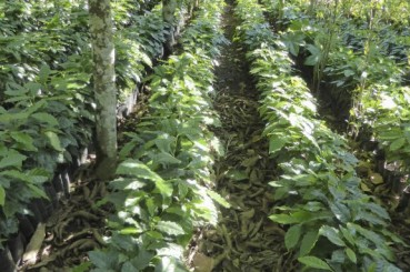 Sustainable Coffee Farming Practices