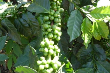 Guatemala-Coffee-Farm-Coffee-Cherries