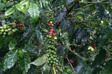 Ripe and Unripened Coffee Cherries in Honduras