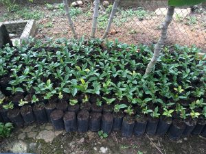 Sustainable, rust-resistant young coffee saplings in Oaxaca, Mexico