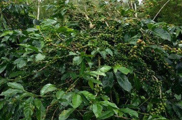 Specialty Coffee Cherries in Sumatra Wahana Estate
