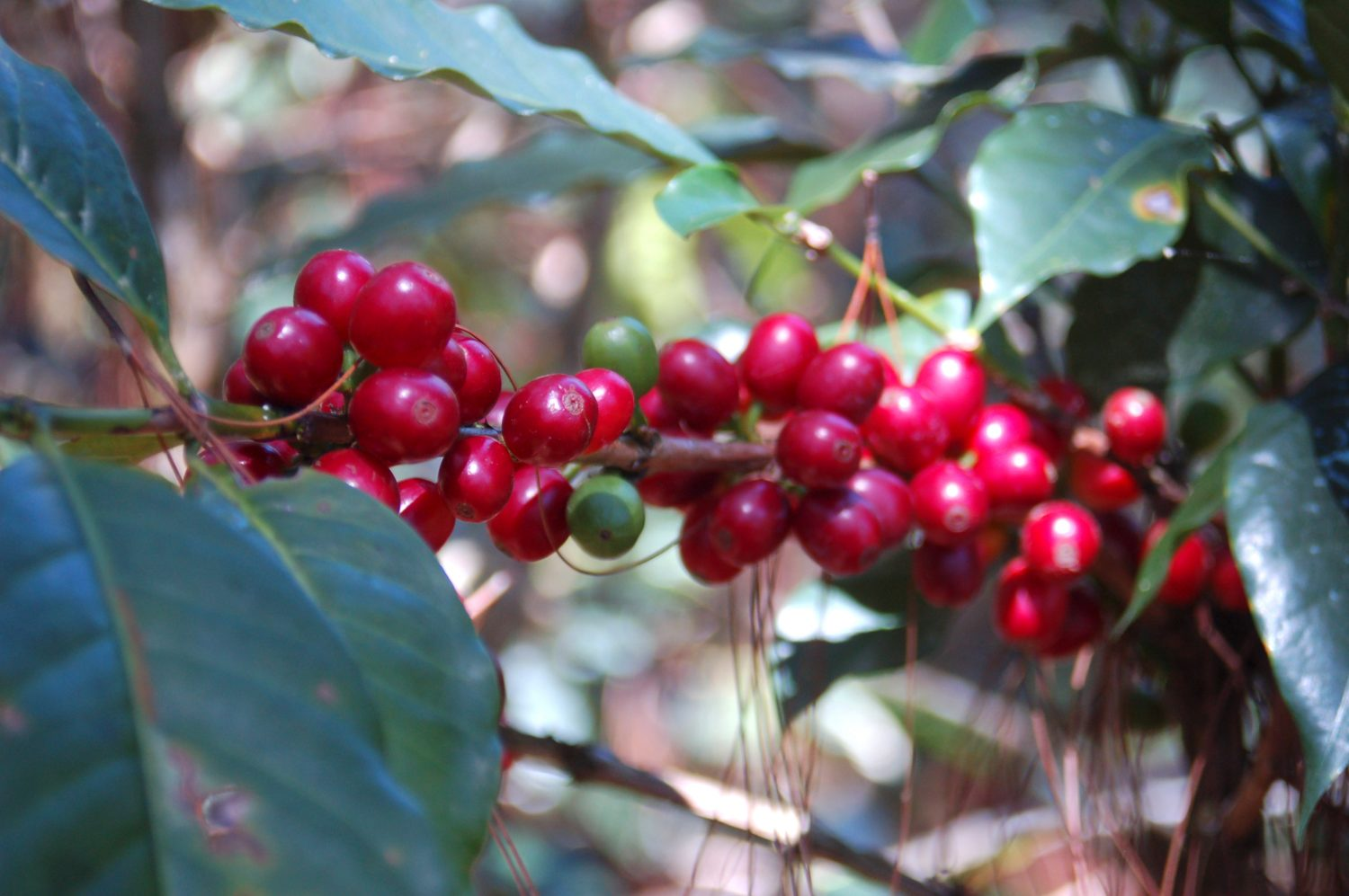 Closeup of ripened, red coffee cherries and coffee leaves on the vine at an arabica coffee farm in Honduras