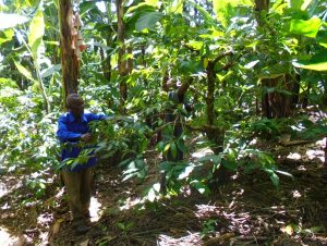 Sustainable coffee growers in Tanzania inspecting a crop of natural shade grown arabica coffee trees for the Mrao Cooperative.
