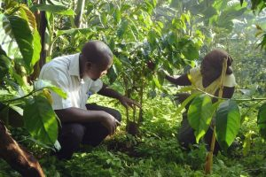 Coffee farmers kneeling down in a grove of healthy coffee trees protected by a natural shade canopy of tall forest trees in Kapchorwa Uganda