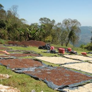 Organic specialty green coffee beans, sun drying on a hillside on tarp mats in Honduras