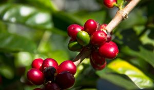 Panama Jaguar Boquete West coast coffee traders