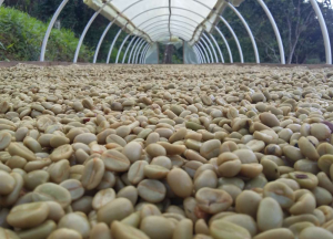 Closeup of Fair Trade Organic Colombian Coffee Beans Sun Drying in a Covered Canopy in the Sierra Nevada region