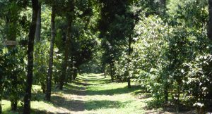 Grove of Organic, Shade Grown Coffee Trees Under A Natural Forest Canopy in Nicaragua