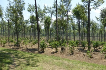 Guatemala Shade Grown Saplings