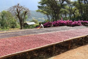 Ethiopia Harrar Negesse Sustainable coffee