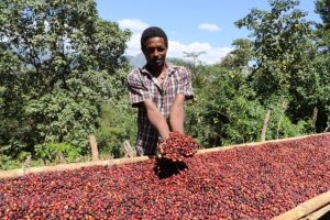 Ethiopian Coffee Grower Holding Sun Dried Coffee Beans with Raised Drying Beds in Harrar, Ethiopia