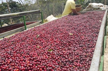 Honduras Cafe Tio Juan Raised Bed and Coffee Cherries