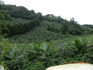 Fair trade coffee la Isabelia in Jinotega