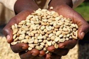The hands of an Ethiopian coffee farmer holding dry processed, Ethiopian Yirgacheffe green coffee beans for import to the United States by a specialty green coffee importer.