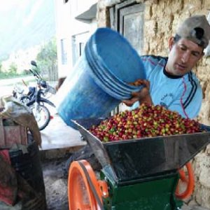 Peruvian Organic Coffee Grower Using Coffee Pulper on Coffee Cherries