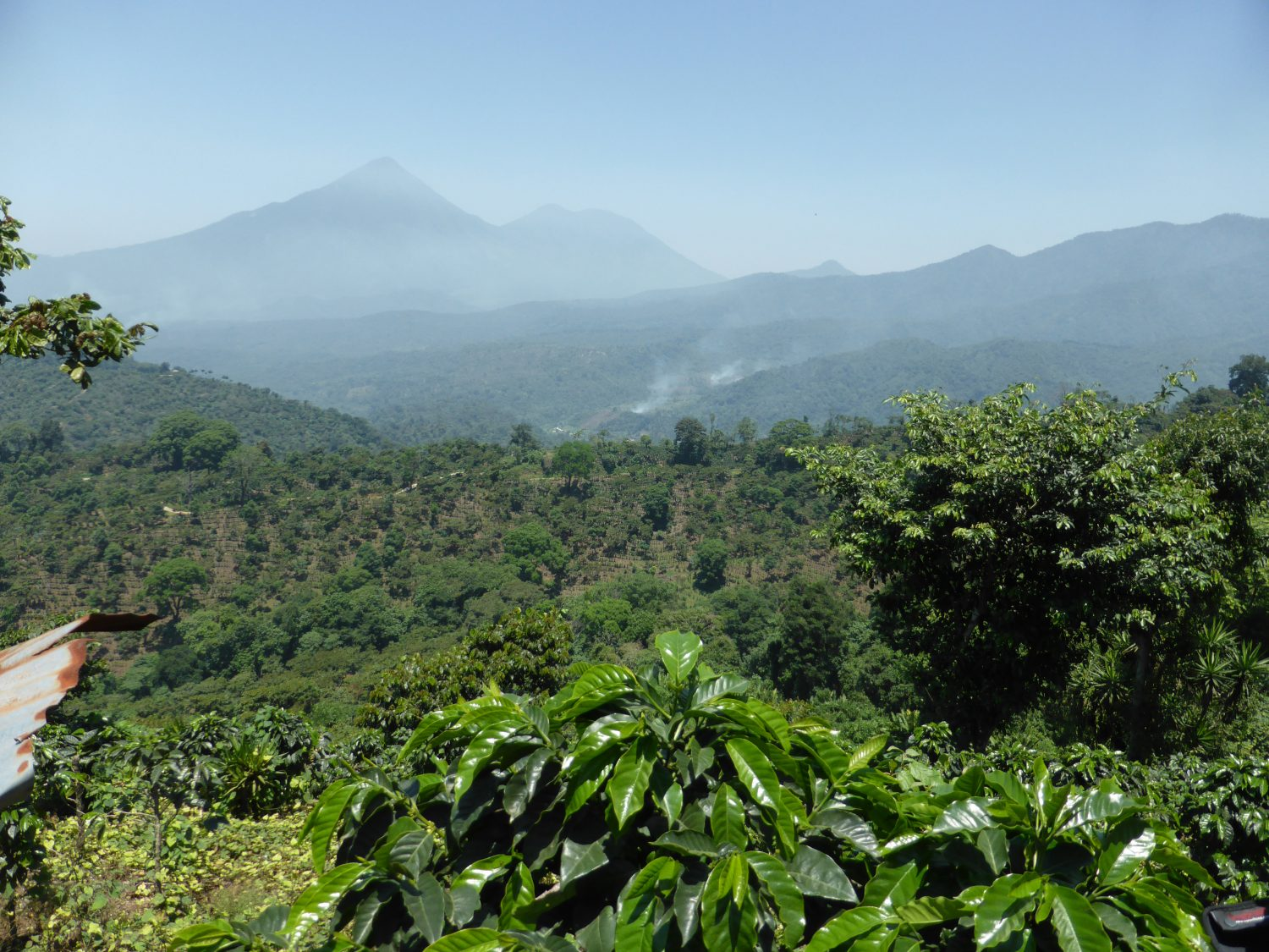 Naturally grown Guatemalan coffee trees planted across the landscape with a view of the distant volcanic peaks