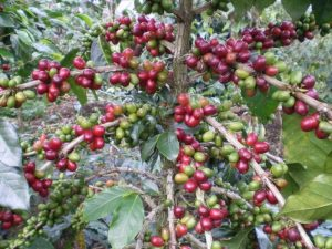 Red and Green Coffee Cherries in Sumatra, Indonesia