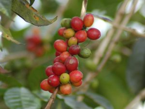 Closeup of Coffee Cherries on the Vine in Papua New Guinea