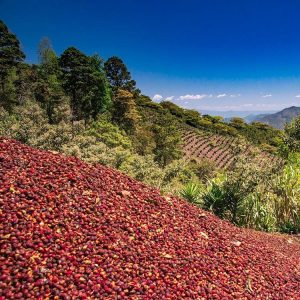 Pile of Sustainably Grown Red Ripened Coffee Cherries from Kingdom Growers in Honduras