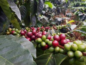 Ripened Red Coffee Cherries and Unripened Green Coffee Cherries On The Vine, Finca La Amapola, Valle del Cauca, Colombia