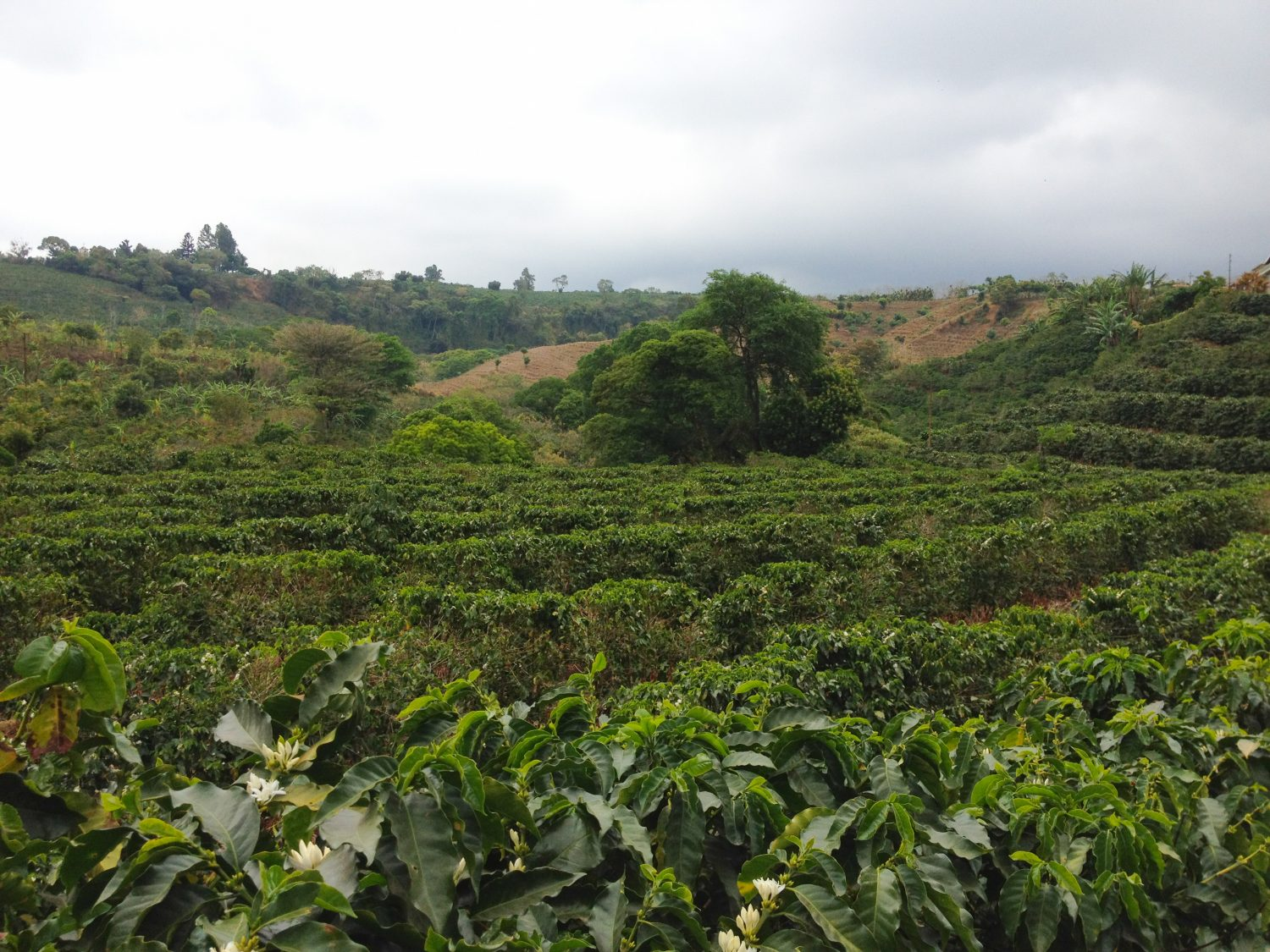 Rows of Coffee Trees at Costa Rican Coffee Farm Las Pavas