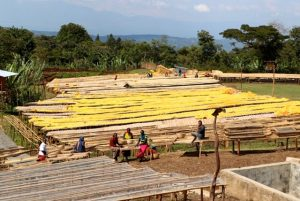 Ethiopian Yirgacheffe Gelanacoffee drying beds, Semalo Pride wash station