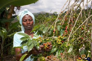 Female Rwandan Coffee Farmer Picking Coffee Cherries for the Misozi Hingakawa Women's Coffee Cooperative