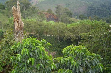 Colombian-Coffee-Trees-Santander-Department-Coffee-Farm-Bucramanga-El-Gato-01