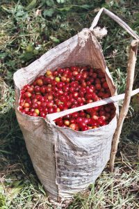 Sack of Handpicked, Red, Ripe Coffee Cherries from Eastern Highlands, Papua New Guinea