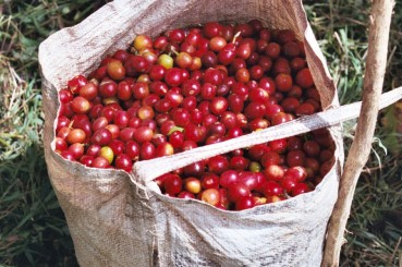 Bag of Handpicked Papua New Guinea Coffee Cherries