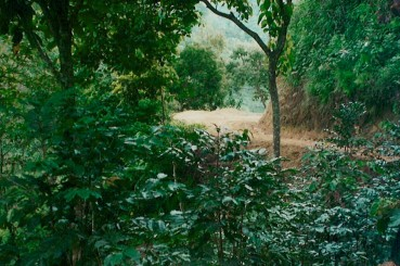 Coffee Trees Along Farm Access Road Chiapas Mexico
