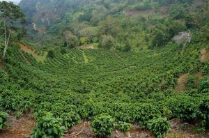 Young Costa Rican arabica coffee trees planted in rows on a hillside terroir on the Urena family coffee farm