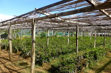 Environmentally Friendly Coffee Sapling Nursery in Papua New Guinea