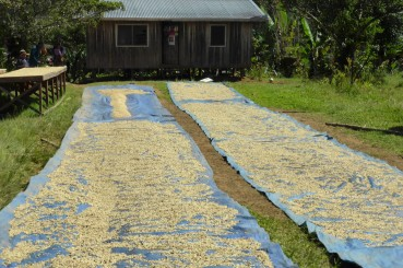 Green Coffee Drying Beds Eastern Highlands