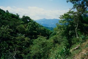 Grove of coffee trees and view of the mountains in Chiapas, Mexico